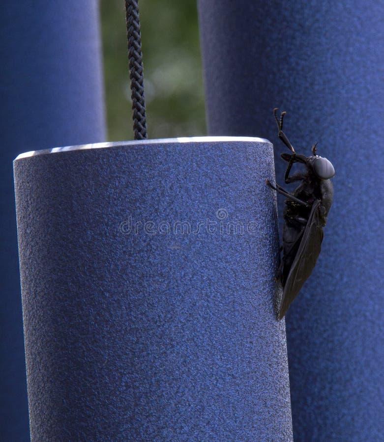 自夸在蓝色编钟的马蝇 库存照片