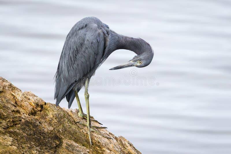 自夸它的羽毛-佛罗里达的小的蓝色苍鹭 库存照片