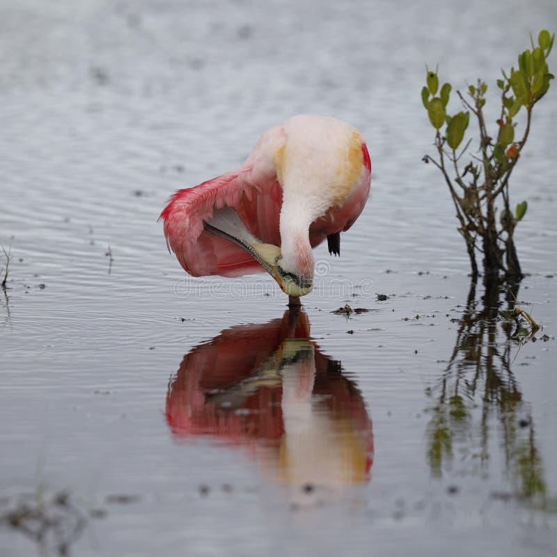 自夸它的羽毛-梅里特岛Wildlif的粉红琵鹭 免版税库存图片