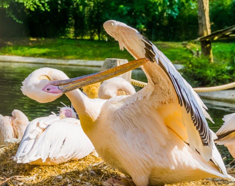 自夸它的翼羽毛,从欧亚大陆的热带鸟硬币的玫瑰色鹈鹕的特写镜头 库存图片