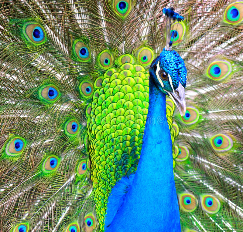 Download 自夸的孔雀 库存图片. 图片 包括有 本质, 主题, 敌意, 颜色, 摄影, 绿色, 框架, 蓝色, 清洁 - 30335143