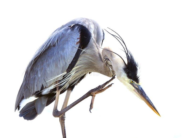 自夸蓝色极大的苍鹭 免版税库存照片
