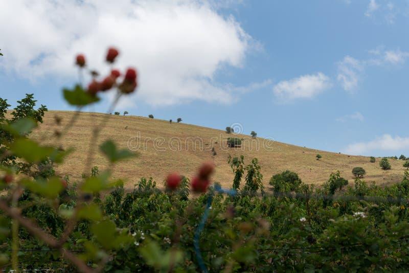 自已在Odem的采摘樱桃在戈兰高地 库存照片