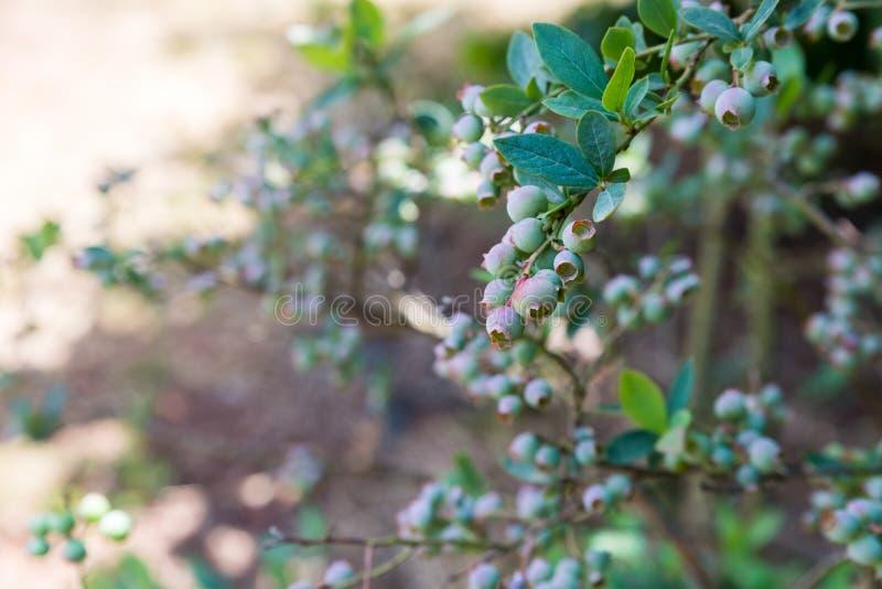 自已在Odem的采摘樱桃在戈兰高地 库存图片