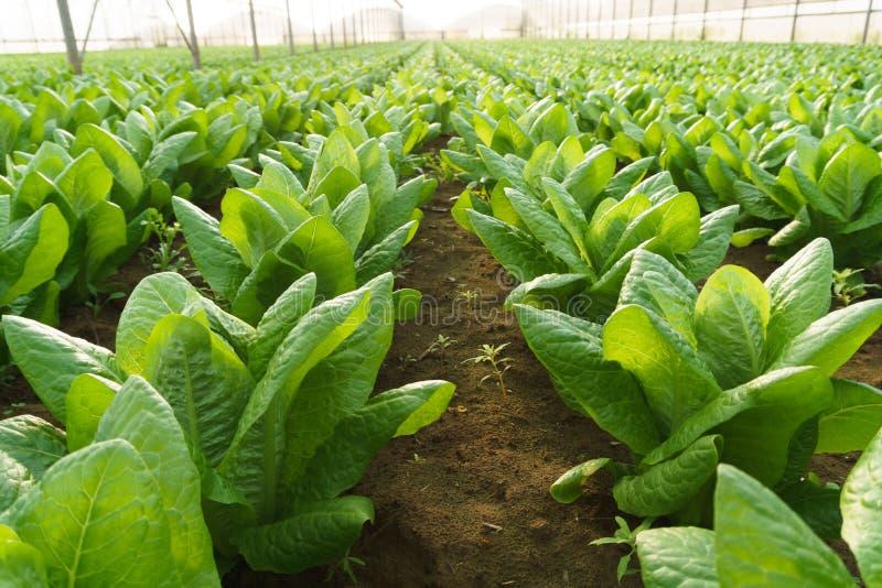 自温室种植沙拉 免版税库存图片