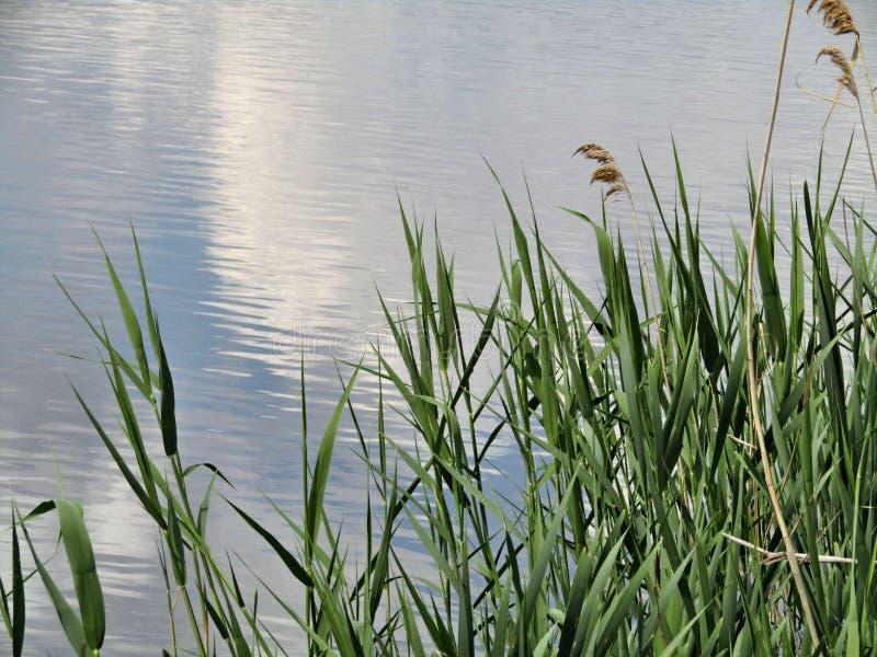 自然、芦苇和湖 库存照片