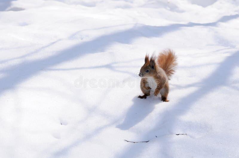 在雪的灰鼠 免版税库存照片