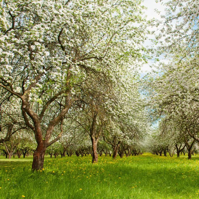 自然与开花的苹果计算机庭院的春天风景 免版税库存照片