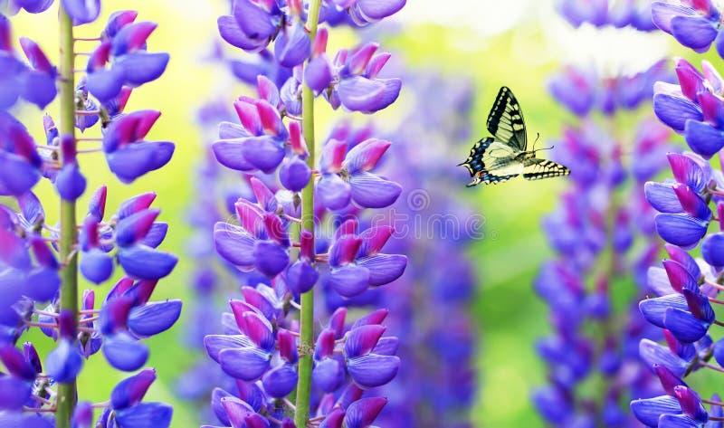 自然与美好的蝴蝶Machaon飞行在夏天庭院里在明亮的丁香,紫色和桃红色羽扇豆旁边 免版税库存照片