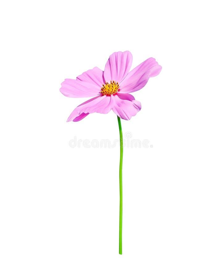 自然五颜六色的桃红色波斯菊花或墨西哥翠菊与在白色和绿色词根隔绝的黄色花粉样式开花 库存照片