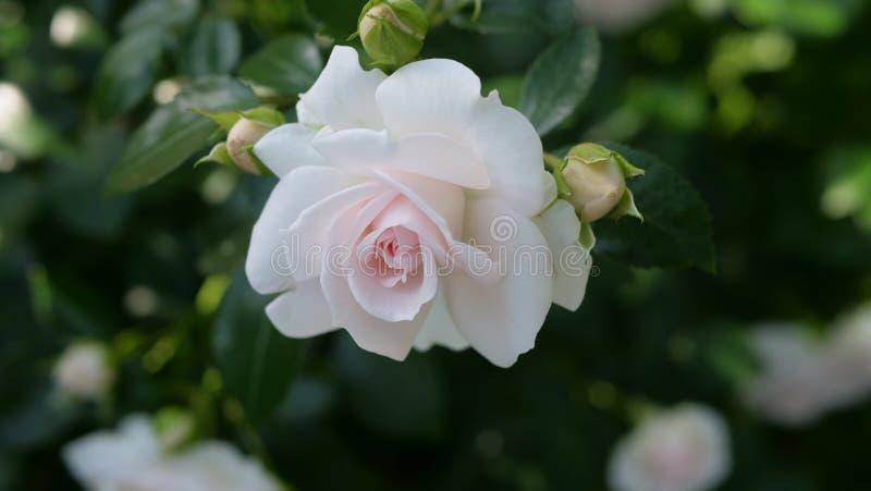 自然光的美丽的白玫瑰 免版税库存照片