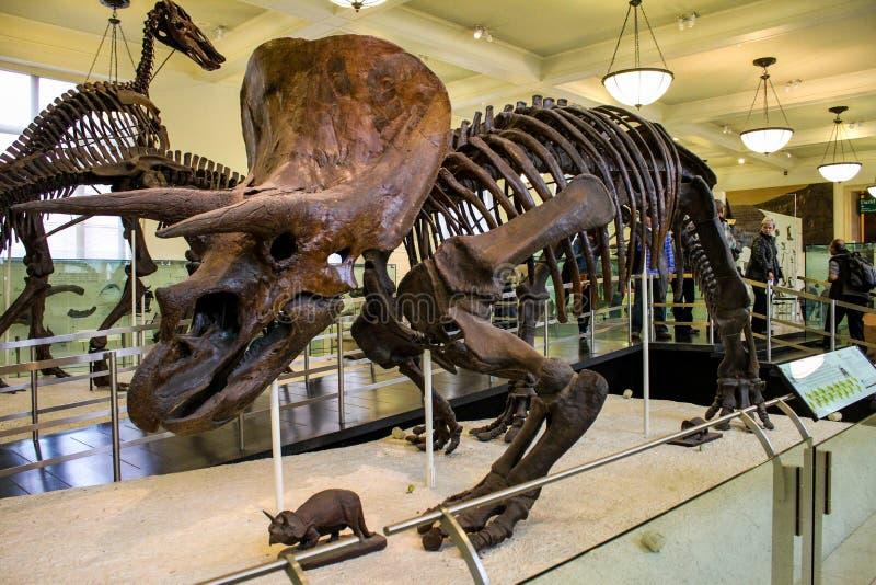 自然历史纽约博物馆  免版税库存照片