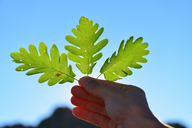 自然和橡木叶子壮观的细节  图库摄影