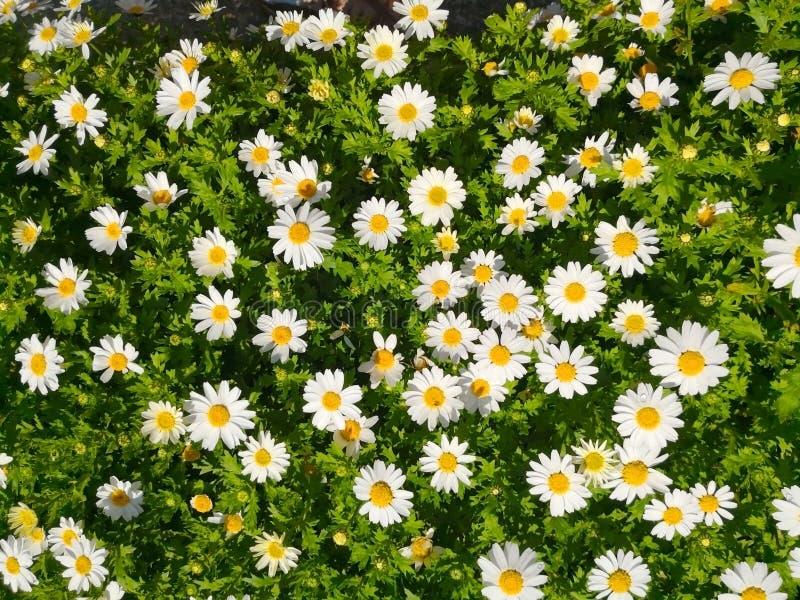 自然和背景概念 戴西花和绿色Bu 免版税库存照片