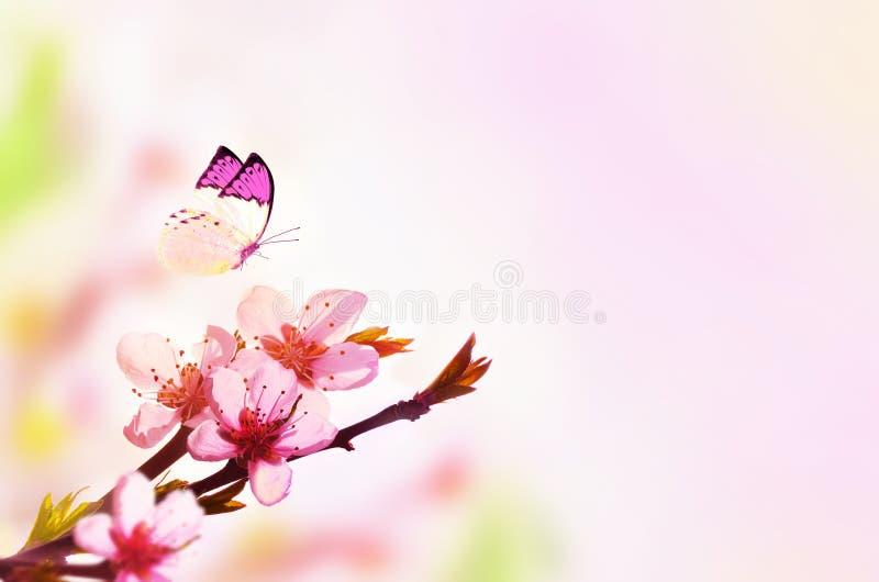 自然和蝴蝶美好的花卉春天摘要背景  开花的桃子分支在浅粉红色的天空背景的 为 库存图片