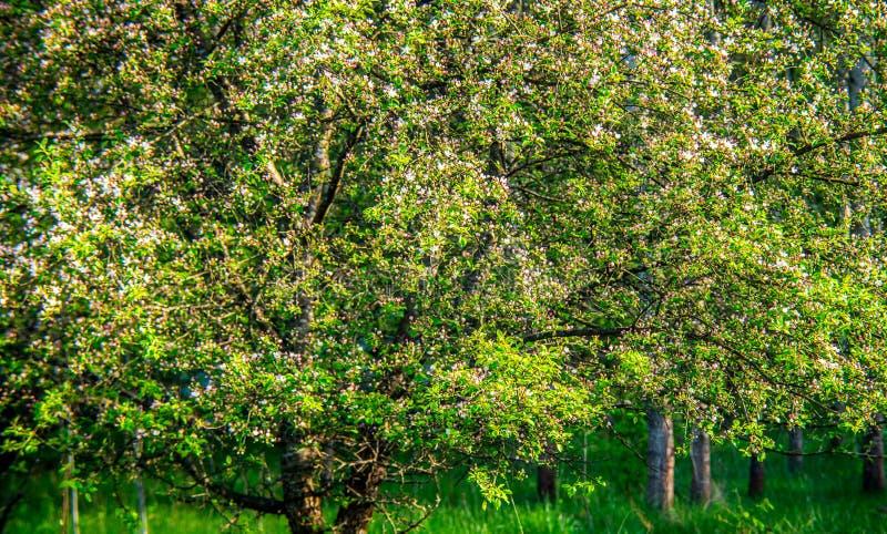 自然在春天,开花的苹果树 库存图片