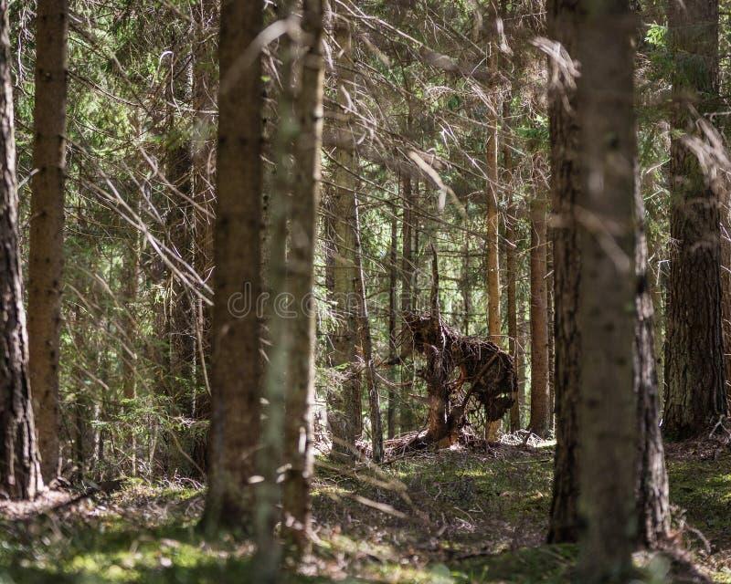 自然形成在云杉的森林里 免版税库存照片
