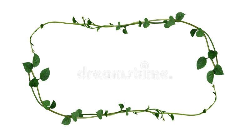 自然心形的绿色多汁植物框架布局离开藤植物马拉巴菠菜或攀缘藤本菠菜落葵 库存图片
