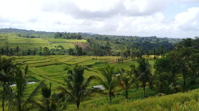 自然旅游业树和米领域在jatiluwih 免版税图库摄影