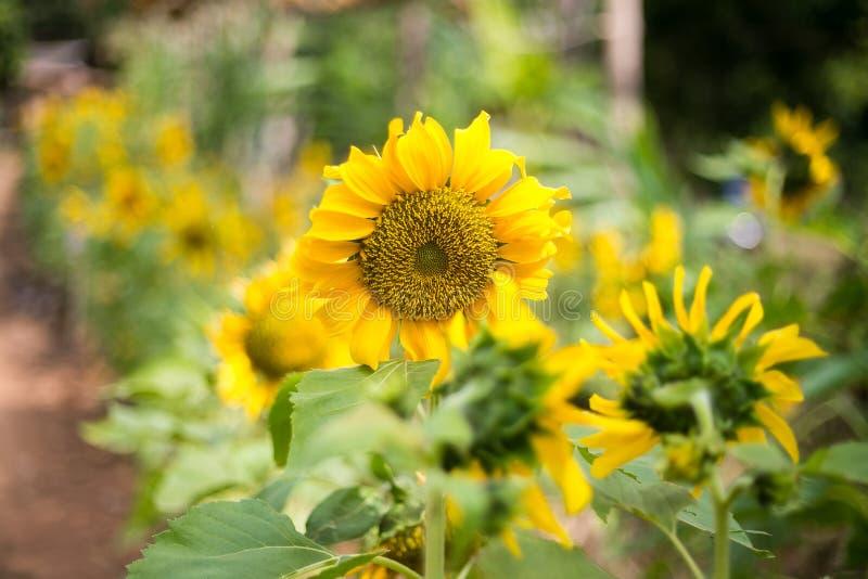 自然明亮的向日葵  免版税库存照片