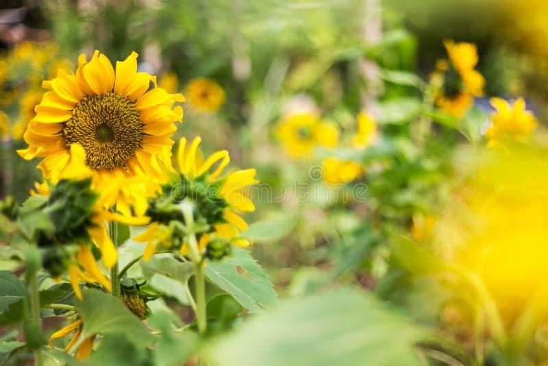 自然明亮的向日葵  免版税图库摄影