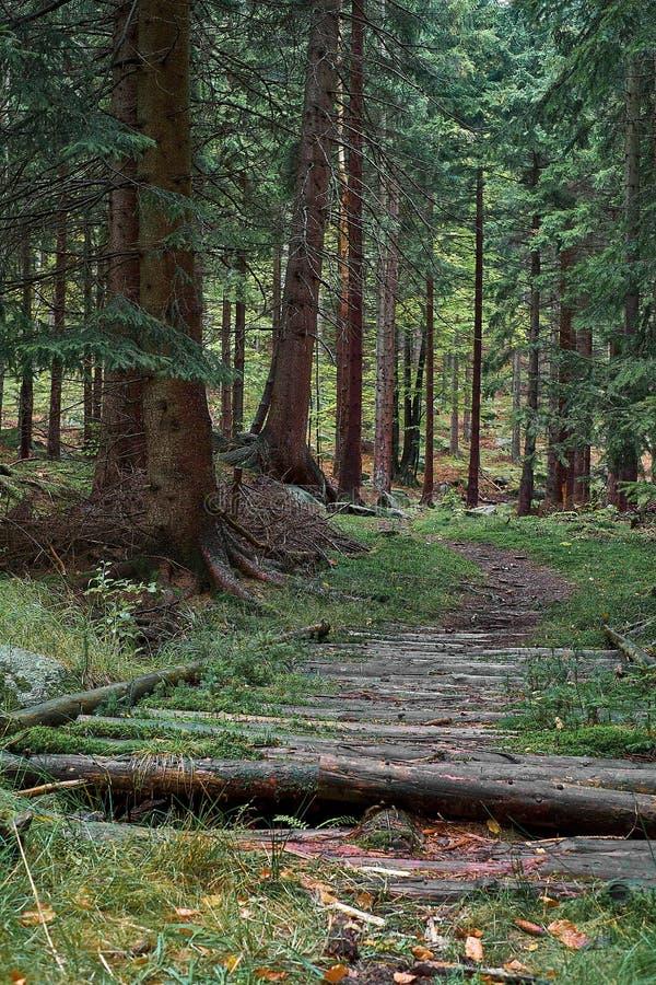 自然有足迹木路的杉木森林 晚上光的斯堪的纳维亚森林 北欧树森林背景 汽车城市概念都伯林映射小的旅行 图库摄影