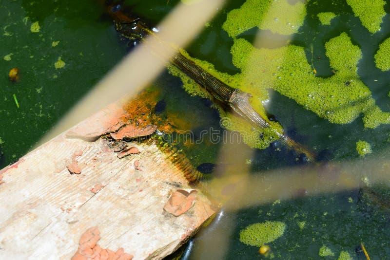 自然本底、沼泽与绿色泡沫和蝌蚪,青蛙的小孩子和蟾蜍,许多黑胚胎在一个池塘有tre的 库存图片