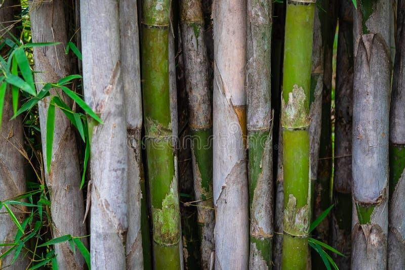自然本底、竹树和竹叶子 免版税库存照片