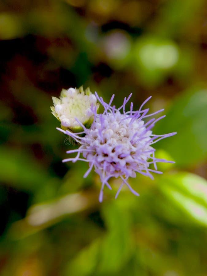 自然本底和拷贝空间 浅紫色的花在好朋友 免版税库存照片