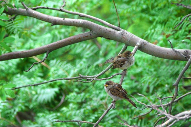 自然本底 两只麻雀坐花揪分支  库存照片