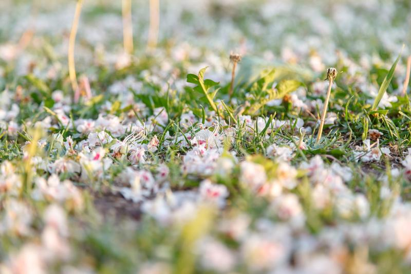 自然本底 栗树的下落的白色和桃红色花在春天草的 特写镜头,选择聚焦 免版税图库摄影