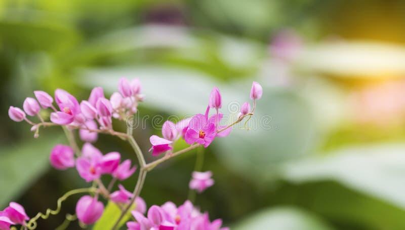 自然桃红色花迷离特写镜头  在春天在早晨光下的 作为背景和墙纸的用途 免版税图库摄影