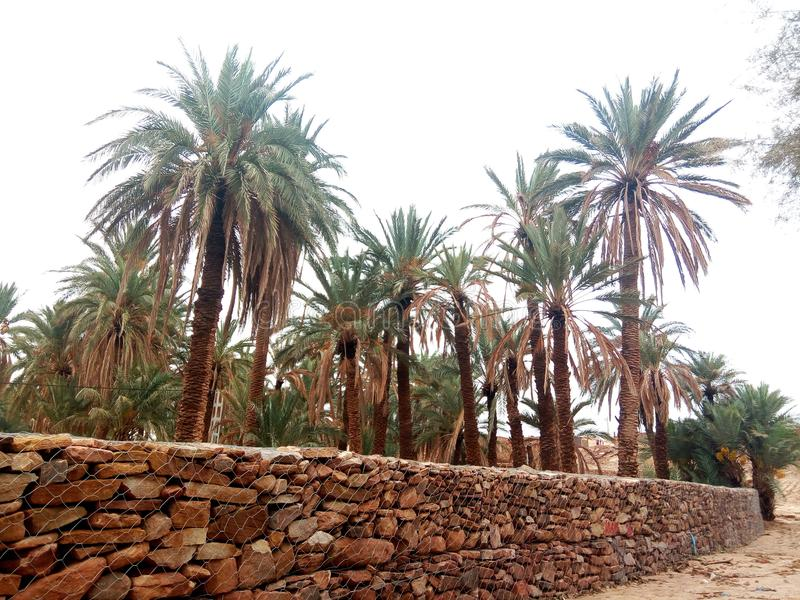 自然棕榈阿尔及利亚真正的pic  免版税库存照片
