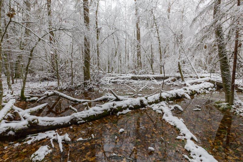 自然森林冬天风景有死的橡树的 免版税库存图片