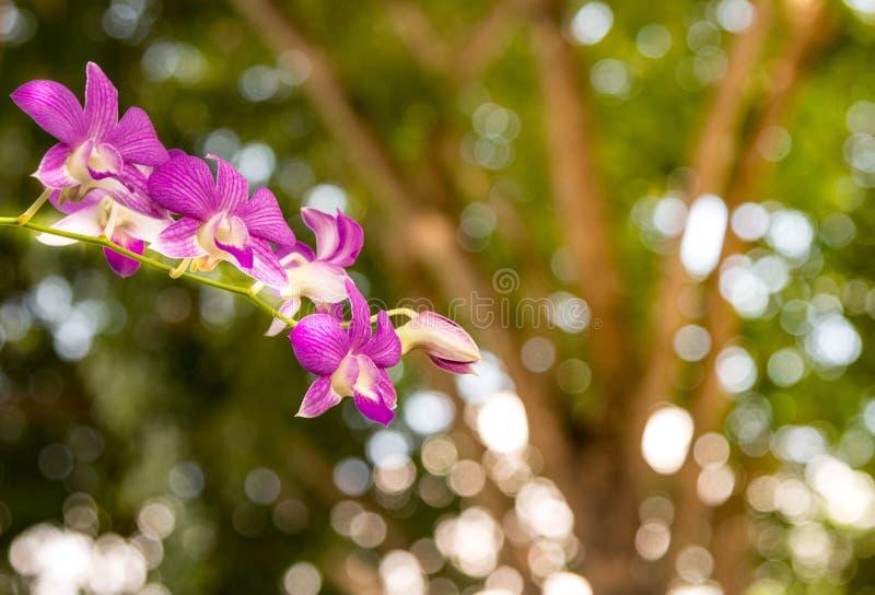 自然概念,紫色兰花在一个狂放的热带森林Beautif里 库存图片