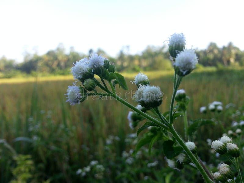 自然狂放的稻花 库存照片