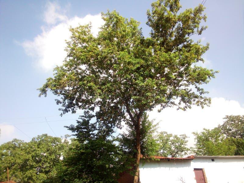 自然的印度树和绿叶 免版税图库摄影
