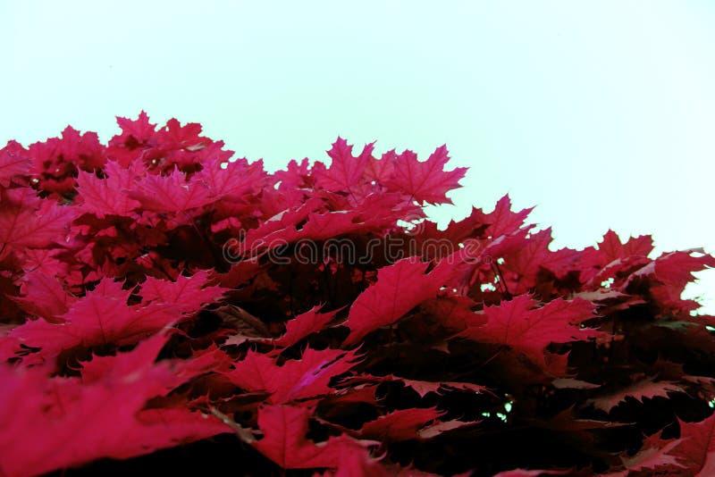 自然的枫叶红色桃红色相似的纹理关闭 免版税库存照片