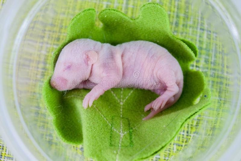 自然的概念 新生儿鼠在一片绿色叶子说谎 库存照片