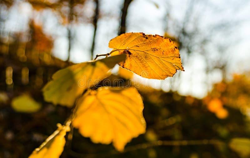 自然的秋天颜色在阿尔萨斯、五颜六色的叶子和fgorests的 图库摄影