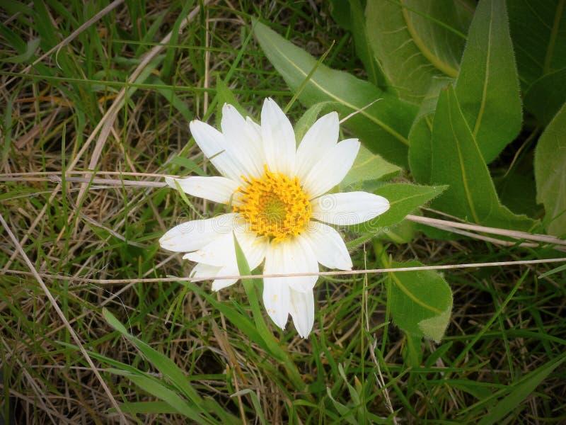 自然的雏菊 库存图片
