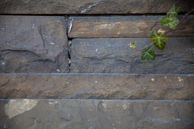 自然石头墙壁与常春藤叶子的 免版税库存照片