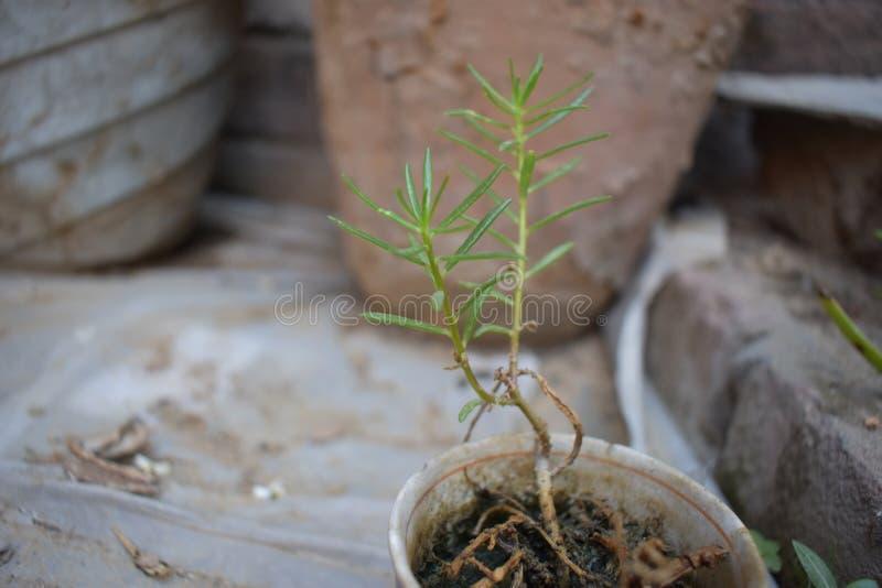 自然秀丽作为植物的 库存照片