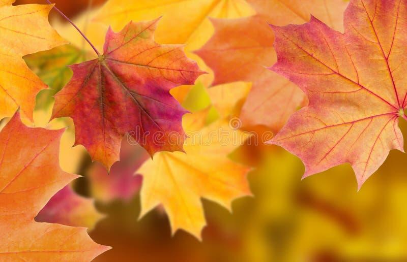自然秋天叶子惊人的多色背景  多色叶子五颜六色的背景有自然光的 庄严bri 免版税图库摄影