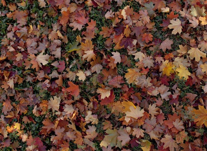 自然秋天叶子惊人的多色背景  多色叶子五颜六色的背景有自然光的 庄严bri 库存图片