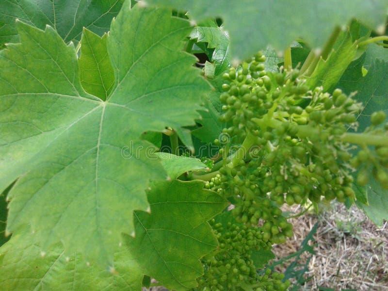 自然种植葡萄绿色 库存照片
