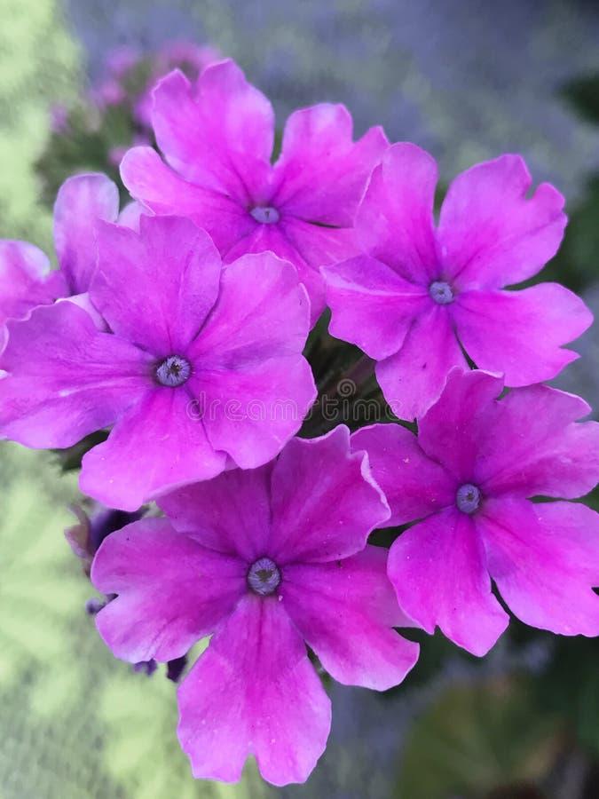 自然紫色秀丽  库存照片