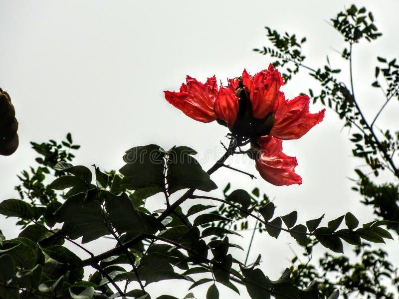 自然红色花 叶子剪影 美丽自然 免版税库存图片