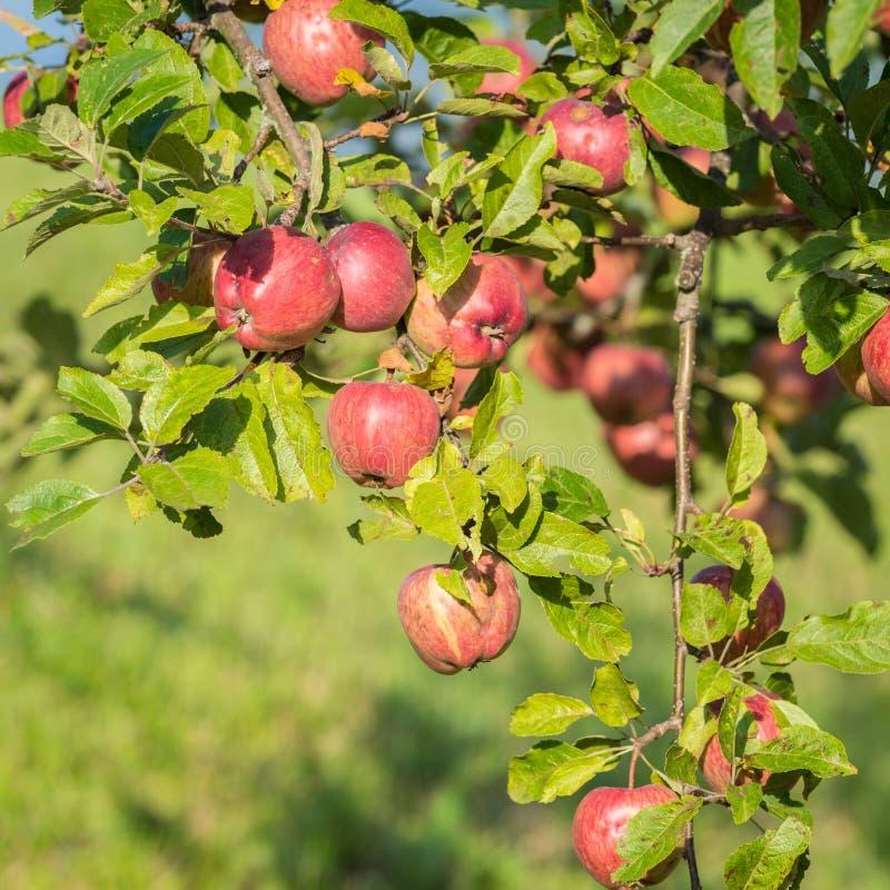 自然红色苹果在意大利 免版税库存图片
