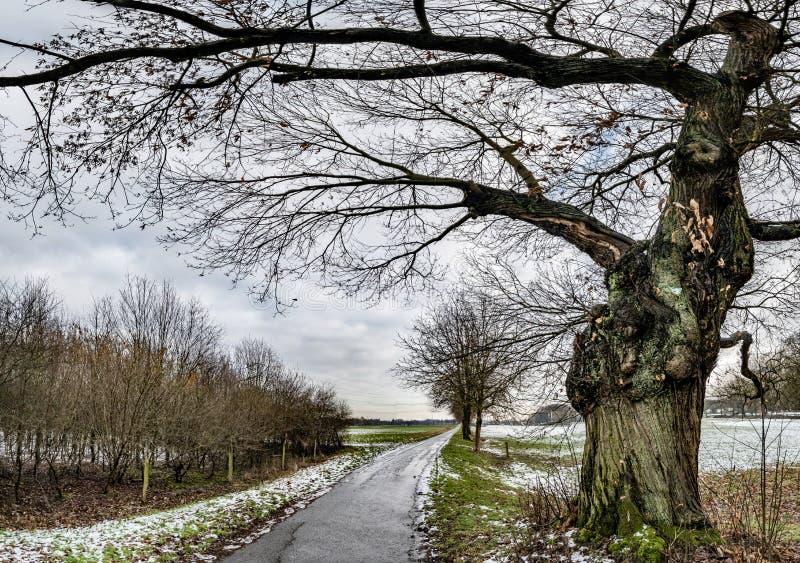 自然纪念碑角被割下的动物柳树在摩尔斯,德国 图库摄影